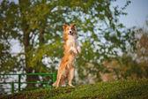 Collie de frontera levántese en el fondo de primavera — Foto de Stock