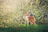 Portret psa rasy border collie na wiosnę — Zdjęcie stockowe