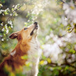 Border collie dog portrait looks up in spring — Stock Photo #22360797