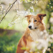Border collie dog portrait in spring — Stock Photo