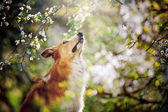 Border collie dog portrait looks up in spring — Stock Photo