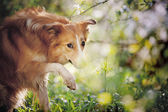 Border collie dog portrait in spring — Stock Photo