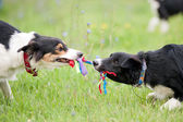 Two dogs playing with rope toy — Stock Photo