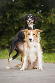 Two cute dog border collie hug — Stock Photo