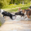 Dogs team jumping in the water - Stock Photo