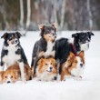 Six border coolie dogs portrait in winter — Stock Photo #22723353