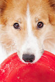 Border collie holding toy and looking at camera — Stock Photo