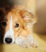 Cute dog border collie dreaming — Stock Photo