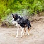 Border Collie dog shakes — Stock Photo #22905238