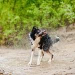Border Collie dog shakes — Stock Photo #22906522