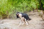 Border Collie dog shakes — ストック写真