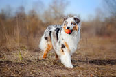 Beautiful Australian Shepherd walking — Stock Photo