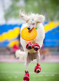 Frisbee poodledog catching — Stock Photo