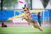 Frisbee German shepherd catching — Stock fotografie