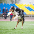 Border collie  catching disc - Stockfoto