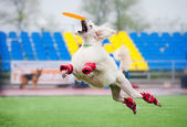 Frisbee poodledog catching — Stock Photo