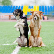 Two border collie dogs show trick — Stock Photo #24548177