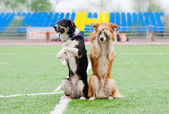 Two border collie dogs show trick — Stock Photo