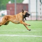 Funny Belgian Shepherd Malinois dog running — Stock Photo