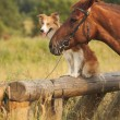 Stock Photo: Red border collie dog and horse