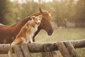 Red border collie dog and horse — Stock Photo