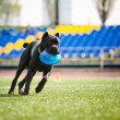 Cane Corso dog brings the flying disc - Stock Photo