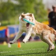 Border collie dog catching the flying disc - Stock Photo