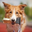 Border collie dog wins — Stock Photo #25493099