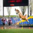 Border collie dog catching the flying disc — Stockfoto