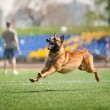 Belgian Shepherd dog running - Stock Photo