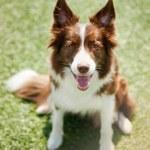 Happy border collie dog — Stock Photo