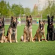Group of Belgian Shepherd dogs — Stock Photo #25493189