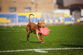 Pit Bull Terrier dog brings toy — Stock Photo