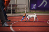Jack Russell Terrier brings the flying disc — Stock Photo