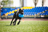 Cane Corso dog brings the flying disc — Stock Photo