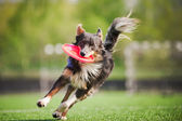 Border collie dog brings the flying disc — Stock Photo