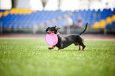 Dachshund dog brings the flying disc — Stock Photo