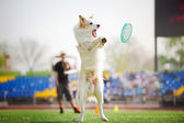 Border collie dog catching the flying disc — Stock Photo