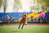 Velshterer dog catching the flying disc — Stock Photo