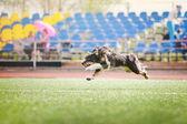 Border collie dog running — Stock Photo