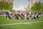 Many border collie dogs together — Stock Photo