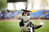 Border collie dog catching the flying disc — Foto de Stock