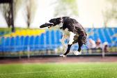 Border collie cachorro pegando o disco voador — Foto Stock