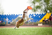 Chien border collie, attraper le disque volant — Photo