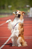 Border collie dog wins — Stock Photo
