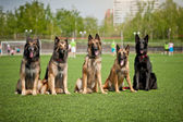 Group of Belgian Shepherd dogs — Stock Photo