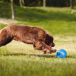 Stock Photo: Newfoundland dog catching Frisbee