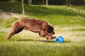 Newfoundland dog catching the Frisbee — Stock Photo