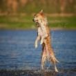 Happy dog jumping up in the water — Stock Photo #26046133