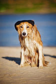 Cool dog in a cap on the beach — Stock Photo